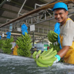 ¿Cómo estamos trabajando con el sector bananero para implementar y mejorar nuestro nuevo programa de certificación?