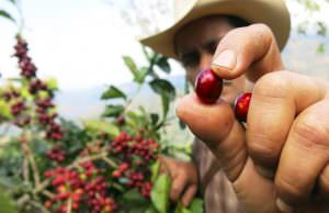 Farmer holding coffee cherry