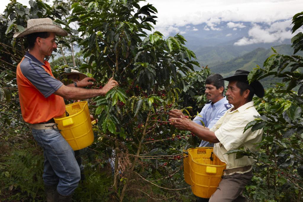 Coffee farmers picking ripe coffee cherries