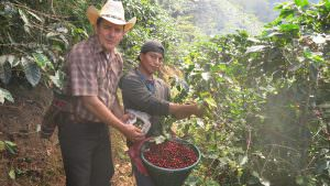 Farmer with worker picking cherries in Guatemala