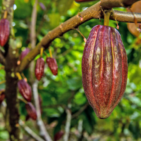 cocoa pods hanging from the tree