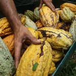 Measures to Strengthen the Cocoa Sector