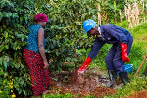 Two people apply fertilizer to coffee plants