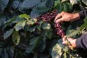 cultivo sustentável de café