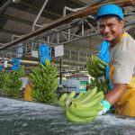 Wie wir mit dem Bananensektor zusammenarbeiten, um unser neues Zertifizierungsprogramm einzuführen und zu verbessern