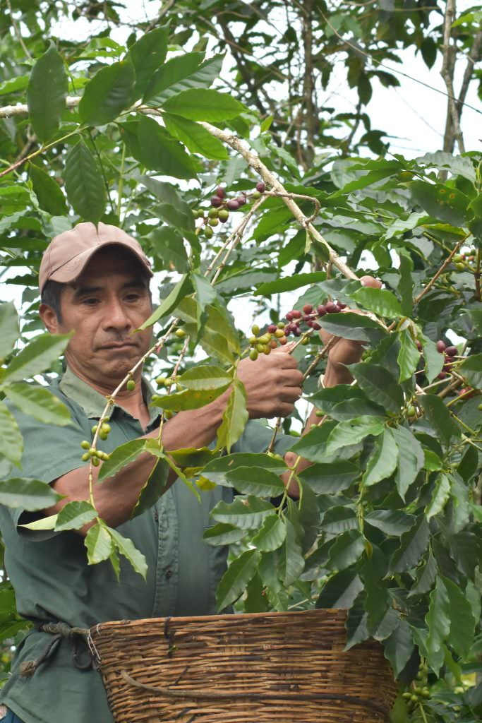 Producer harvesting coffee in Chiapas, Mexico.