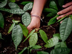 Hands planting cocoa seedlings
