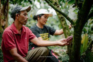 Cocoa harvesting in Bali