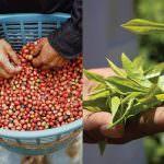 Frisch eingetroffen: Die Rainforest Alliance Zertifizierungsdaten 2020