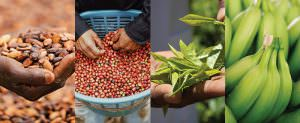 Certification Data Reports 2020- Split image of banana, coffee, cocoa, and tea crops