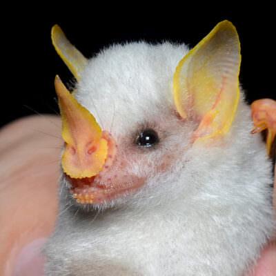 A Honduran white bat mist-netted at La Selva Biological Station