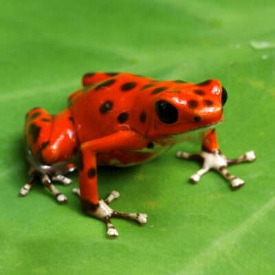 Strawberry Poison Dart Frog (Dendrobates pumilio)