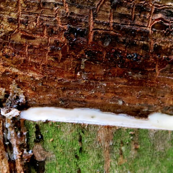 Incised rubber tree - header