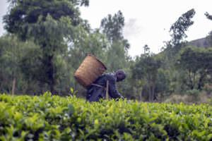 tea picker in Malawi - header