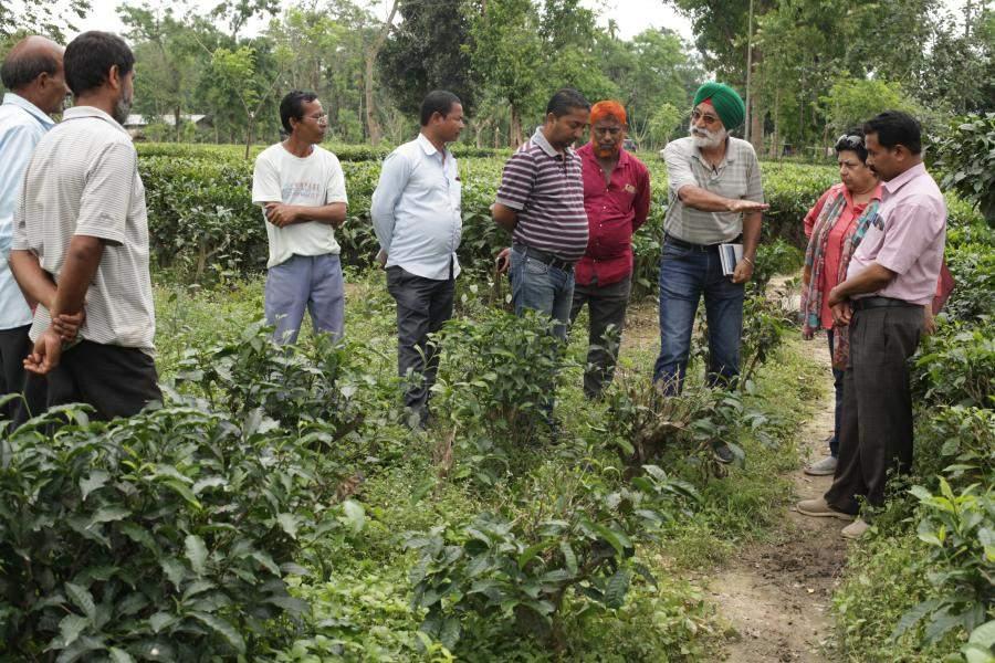 Harki Sidhu in tea field