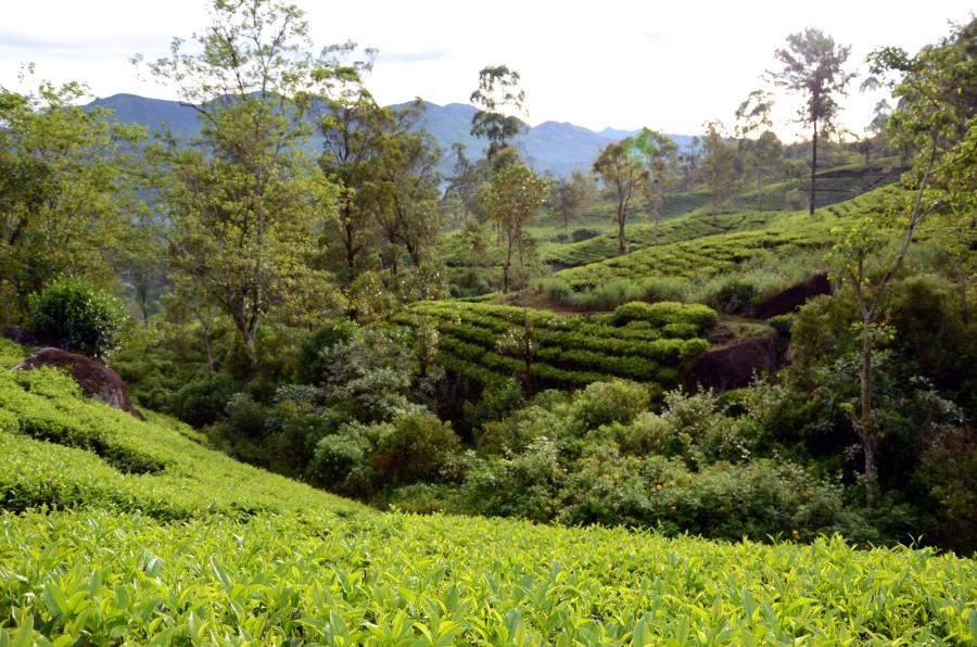Norwood tea estate