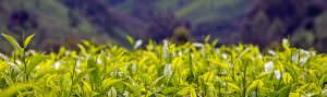 kenya tea field - header