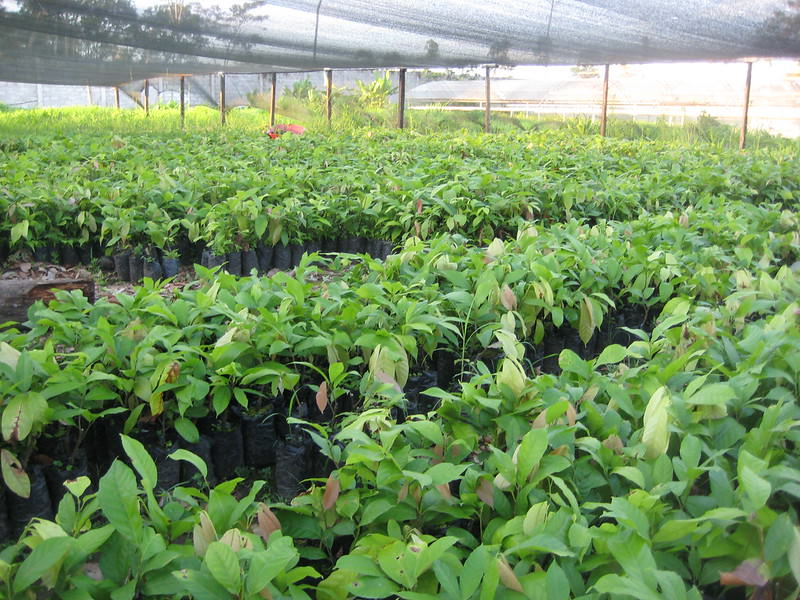 prevención cacao forestastal